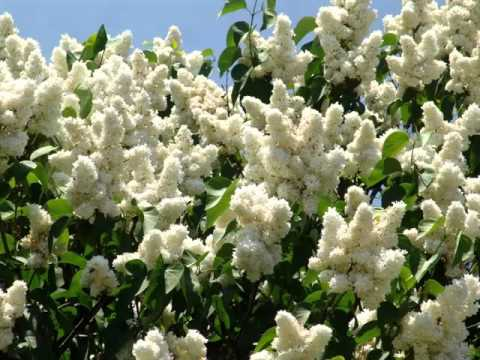 White Lilac Tree Beautiful White Color Folwer Pictures