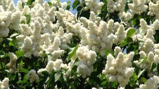 White Lilac Tree | Beautiful White Color Folwer Pictures