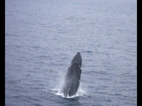 Humpback Whale and Calf - Offshore Angola