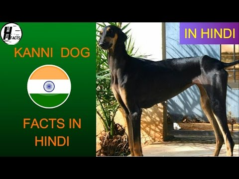 Kanni Dog Facts | Hindi | INDIAN DOG BREEDS | HINGLISH FACTS