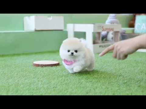 Beautiful Cream Pomeranian Teddy Bear  - dogcastle Teacup Puppies