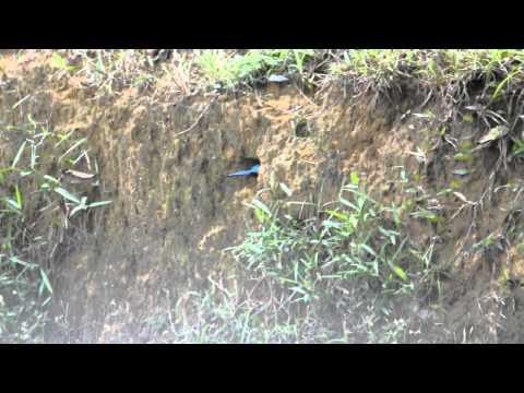 Amar-White-throated Kingfisher Halcyon Smyrnensis - Nesting.avi