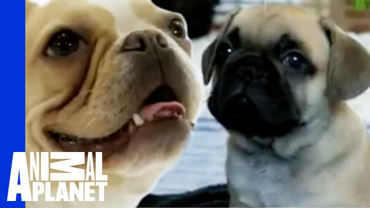 French Bulldogs Dogs 101 Youtube