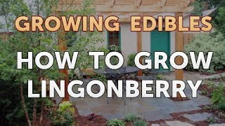 How to Grow Lingonberry