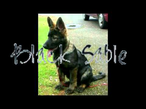 Types of german shepherd