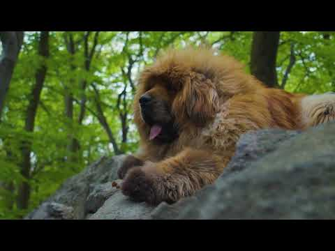 Tibetan Mastiff Loshu