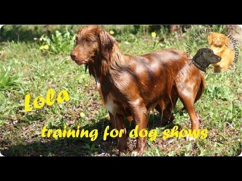 Nova Scotia Duck Tolling Retriever PLs Lola training for dog shows 2