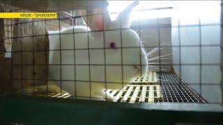 Где в Украине выращивают лучших кроликов | Ранок з Україною