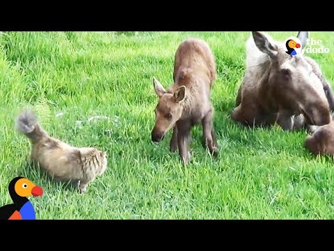 Cat Scared Of Everything Loves Neighborhood Moose | The Dodo