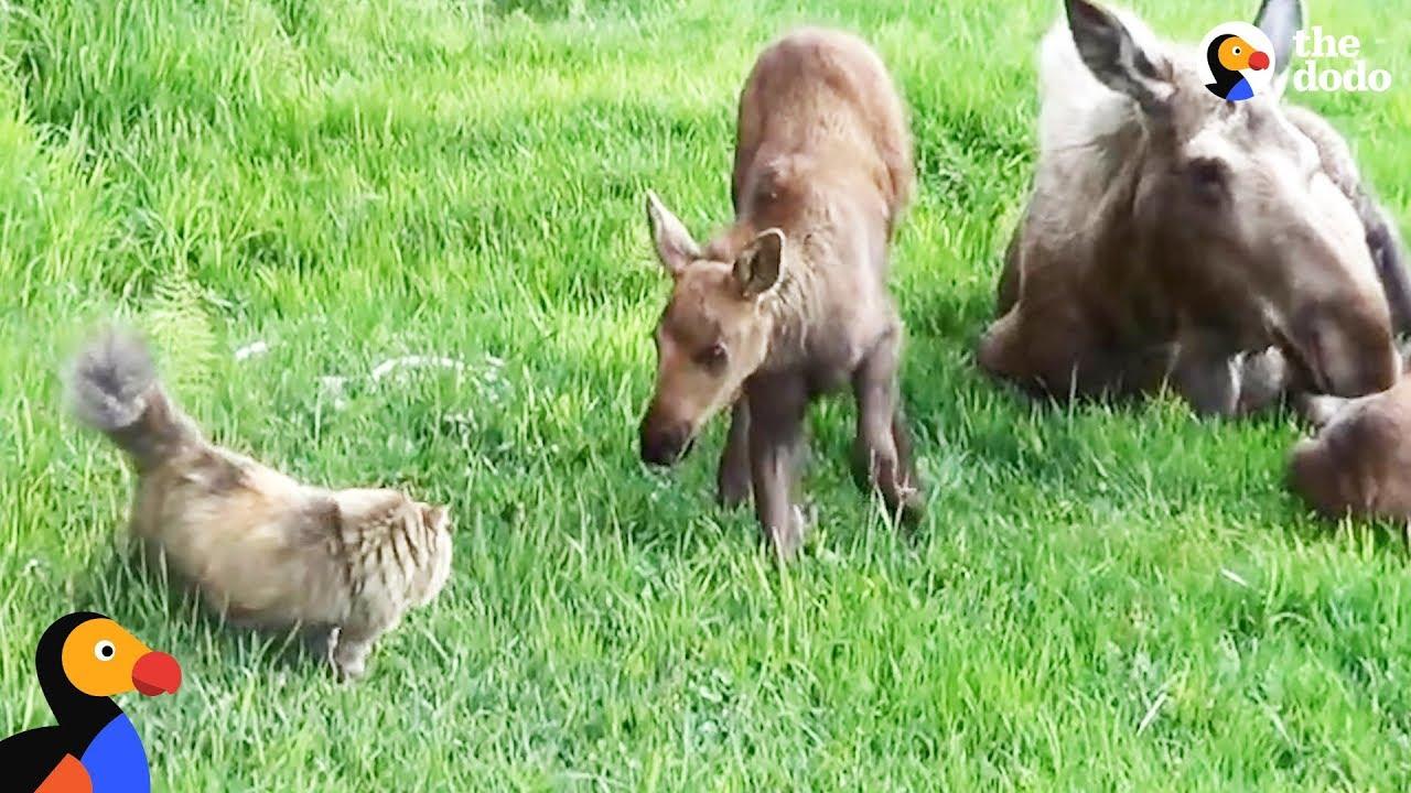 Cat Scared Of Everything Loves Neighborhood Moose