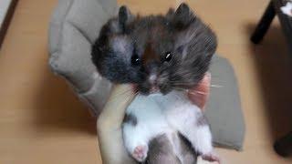 まさかコレをご主人様と間違えるなんて!おもしろ可愛いハムスターFunny Hamster mistook clothes and master