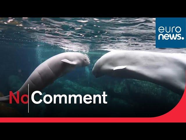 Aquarium releases first footage of newborn beluga whale