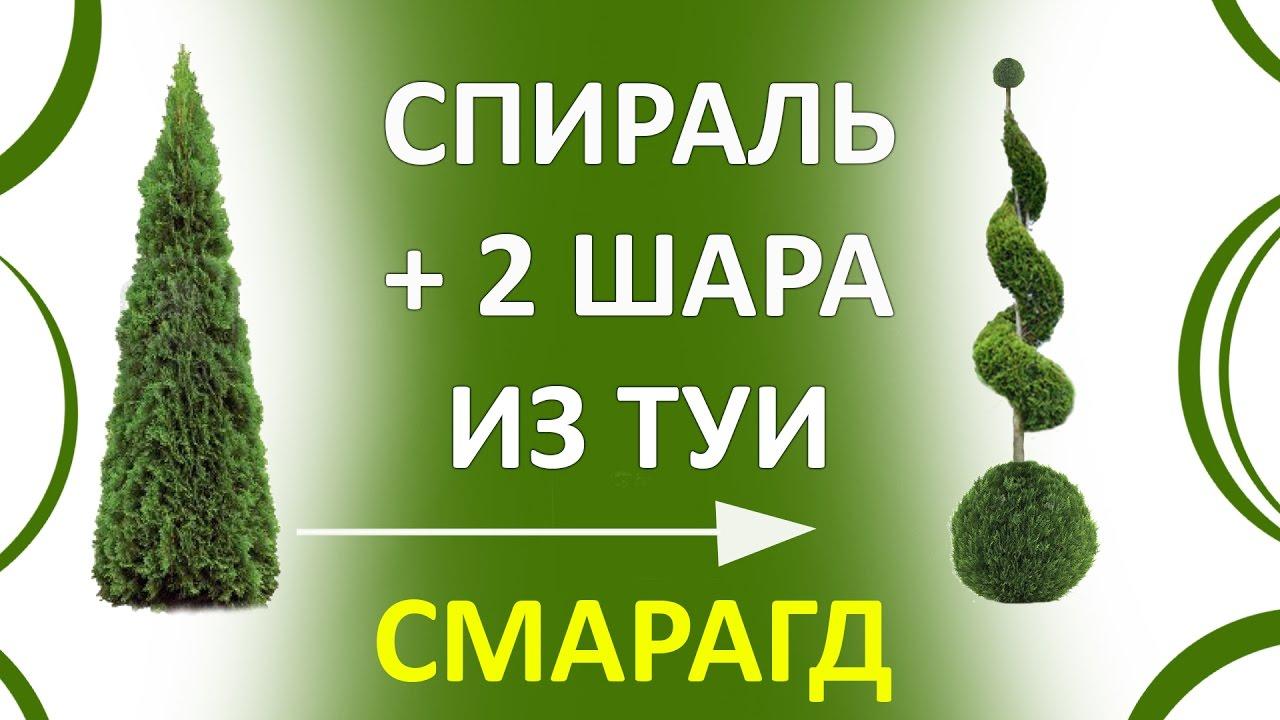Туя Смарагд (Thuja Smaragd) посадка, подкормка, размножение - YouTube