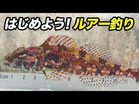 【簡単釣り】ルアー初心者にオススメしたいアナハゼという魚の魅力!!