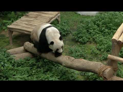 Baby PandaNuan Nuan Goes Home