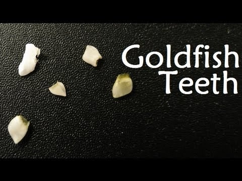 ★ Goldfish TEETH! ★