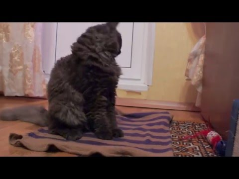 Selkirk Rex Cat and bubbles - кот и мыльные пузыри