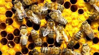 видео Пчелиный шок