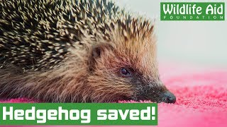 Miracle operation saves hedgehog from certain death