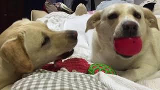 チャンネル登録お願いします☆ 盲導犬の訓練をしたけれど向いてなかった...