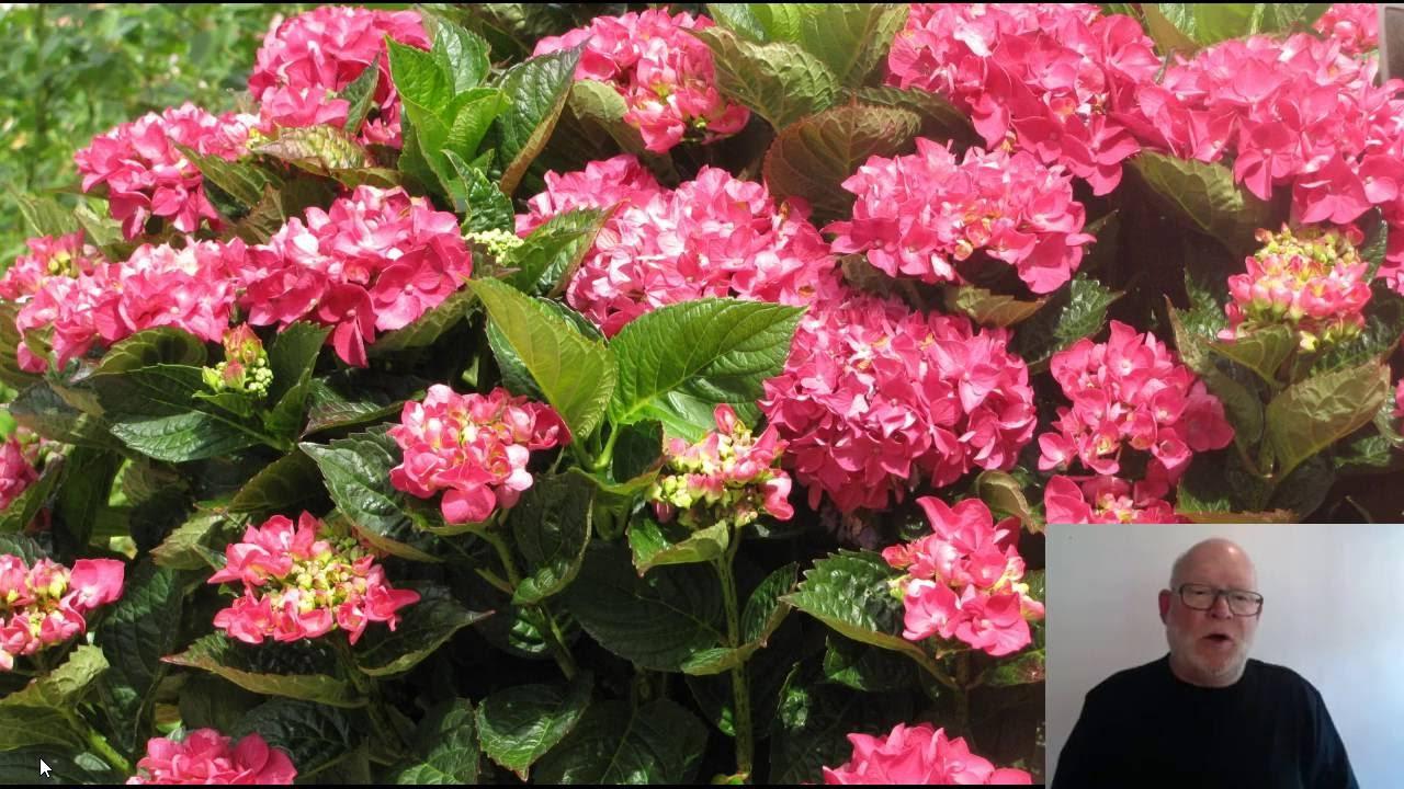 beskæring af opstammede roser