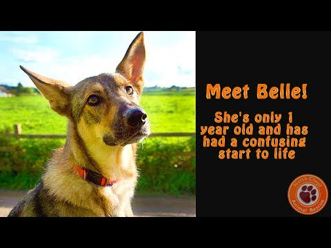 Belle; working on car lunging. North Clwyd Animal Rescue.