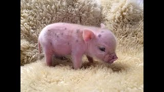 CUTE MICRO PIG | MINI PIG VIDEO Compilation