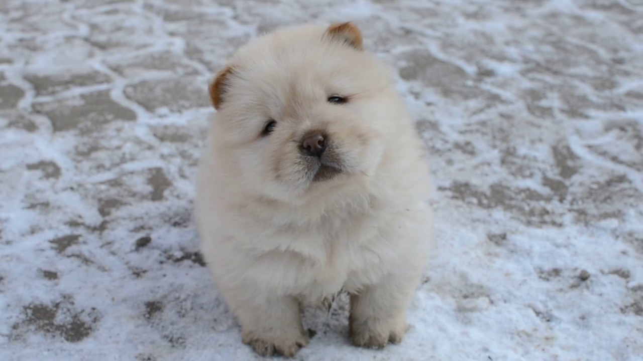 Chow chow cream puppies 2017 january youtube - Images of chow chow puppies ...