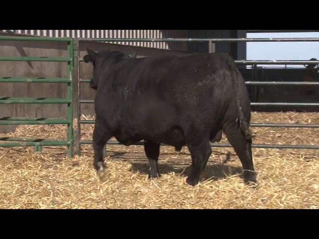 Schiefelbein Angus Farms Lot 13