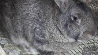 Крольчиха не рожает Почему крольчиха не беременеет?