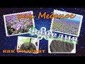 Фацелия семена : отличный медонос и сидерат