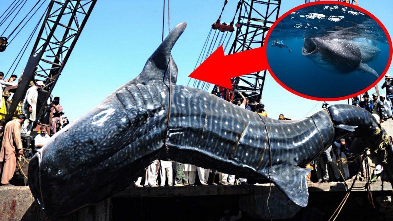biggest oarfish ever