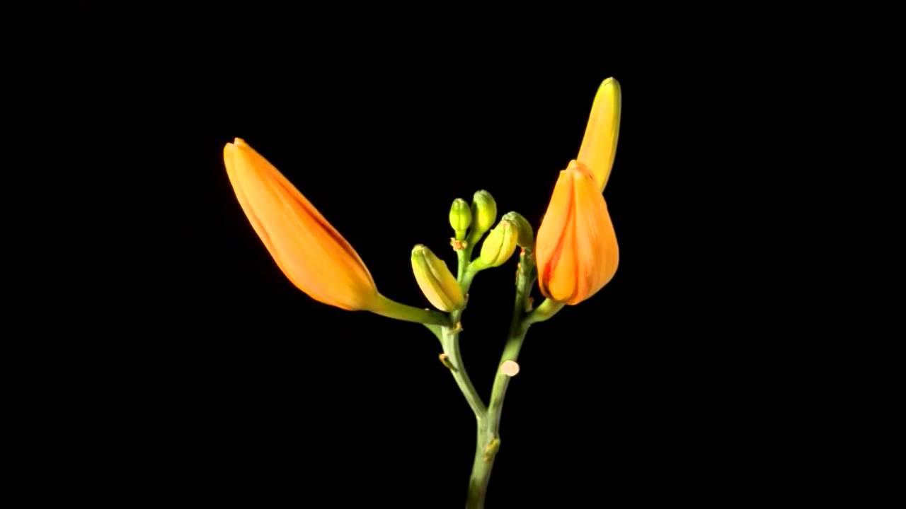 Гифки тюльпаны распускаются, про остров