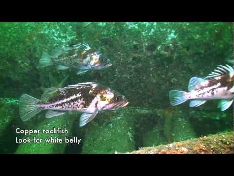 Footage courtesy Rendezvous Dive Adventures - http://www.rendezvousdiving.com