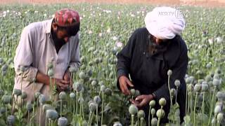 Opium Poppy Cultivation Reaches Record Highs in Afghanistan
