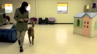 Dog Training, Masen, Golden Retriever, Day 8: Off-leash, Recall, Heel, Sit, Wait, Door Manners