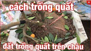 Đất trồng quất trên chậu cách trồng quất dưới đất ở vườn