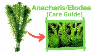 Anacharis/elodia (care Guide)