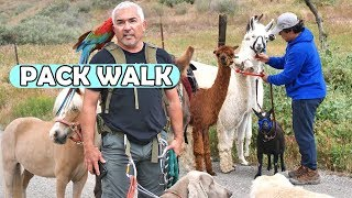 How Ten Different Animal Species All Walk Together