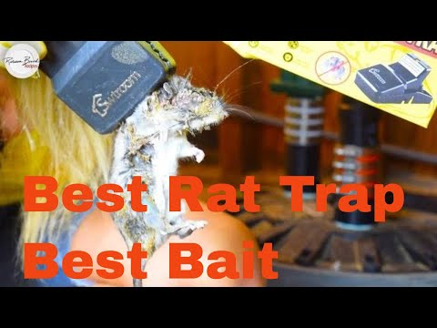 BEST BAIT TRICK FOR SMART RATS |  BEST TRAP | BEST WAY  | TRAP RATS