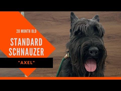 Axel | 20 Month Old Standard Schnauzer | Schnauzer Trainer South Atlanta | Atlanta Dog Training