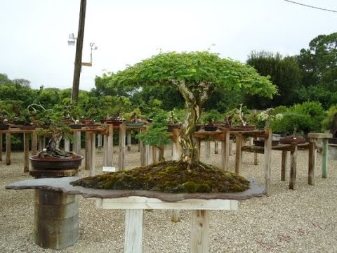 African Bonsai Trees - Pierneef Style