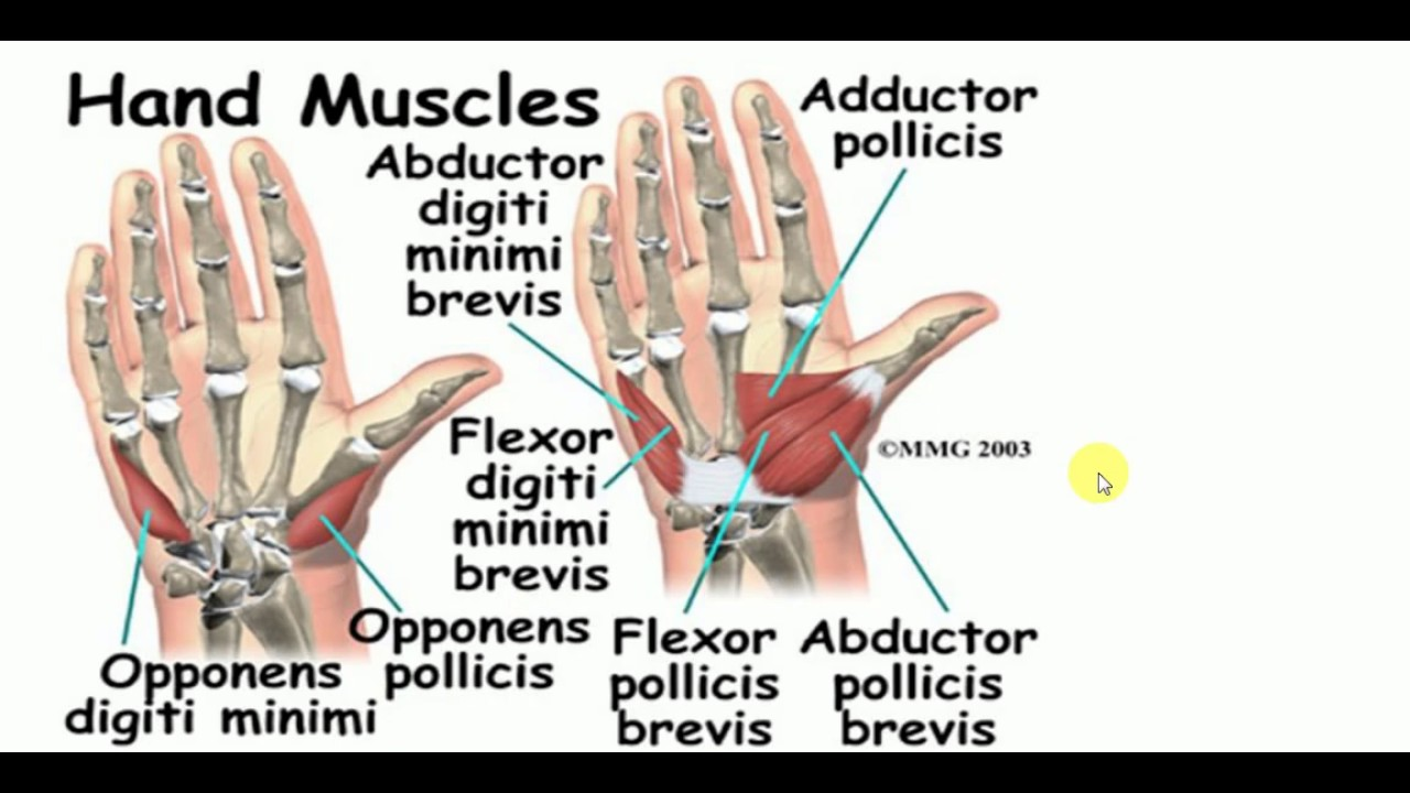 Anatomy Lectures Hand Hand Muscles Youtube