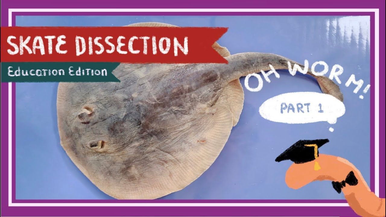 Skate Dissection|| A Mermaid's Purse
