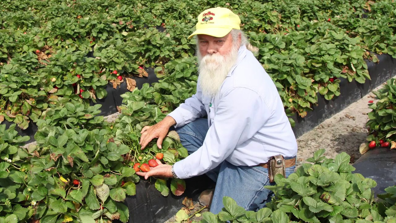 Challenges Of Growing Strawberries In Florida Fgntv