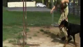 Honey The Doberman / Animal Welfare League Qld