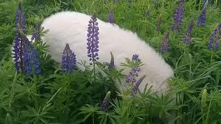 Пиренейская горная собака 8 месяцев