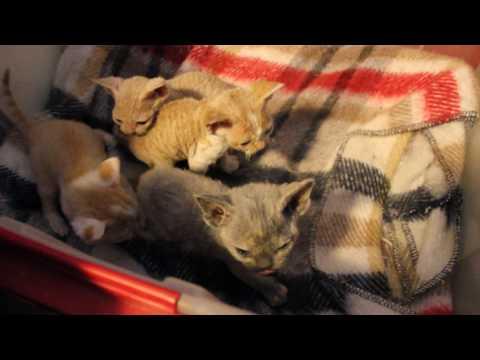 Adorable little Devon Rex kittens