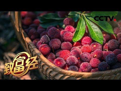 《致富经》 老朱的杨梅季 一月可赚500万 20190812 | CCTV农业