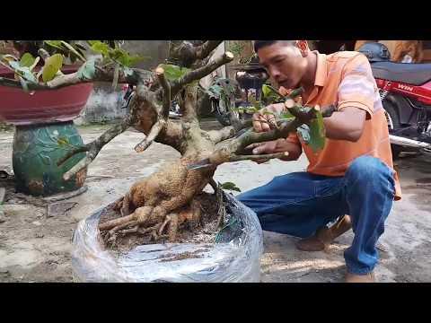HV 291.phá thế cây mai khói hương tàn đẹp tạo thế bonsai lùn lực
